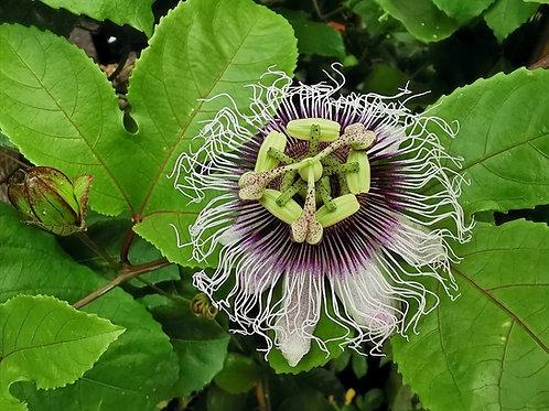 Passiflora Edulis. Passion Flower Vines for Sale.