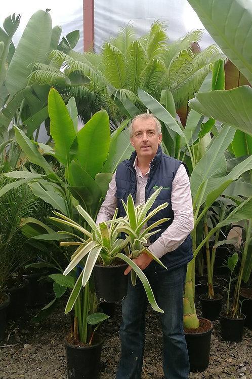 Bromeliad Carolinae 'Tricolor' For Sale