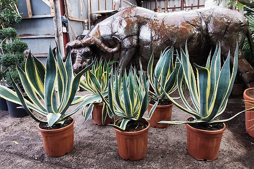 Large Variegated Agave Americana For Sale
