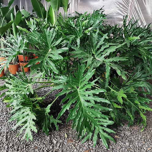 Extra Large Philodendrum Bipinnatifidum Plants. Philodendrum Selloum Plants For Sale