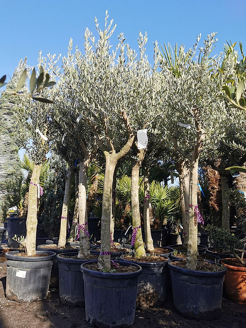 Olive Trees with Tall Slim Trunk