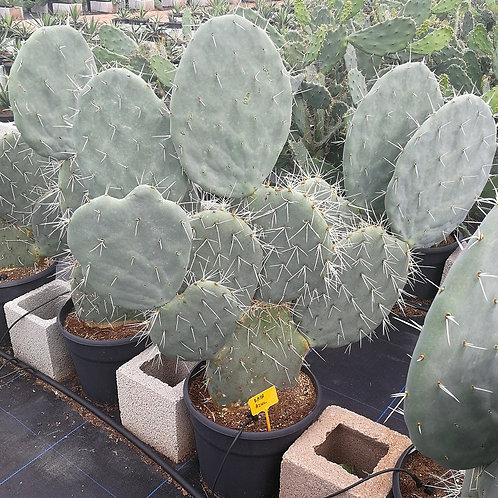 Opuntia Robusta Cactus