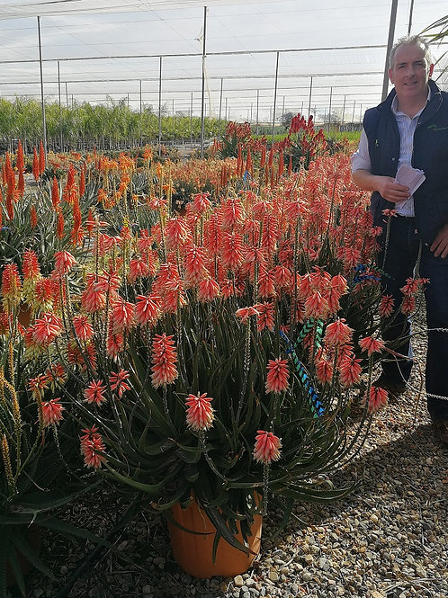 Large 'Safari Rose' Aloe Plants