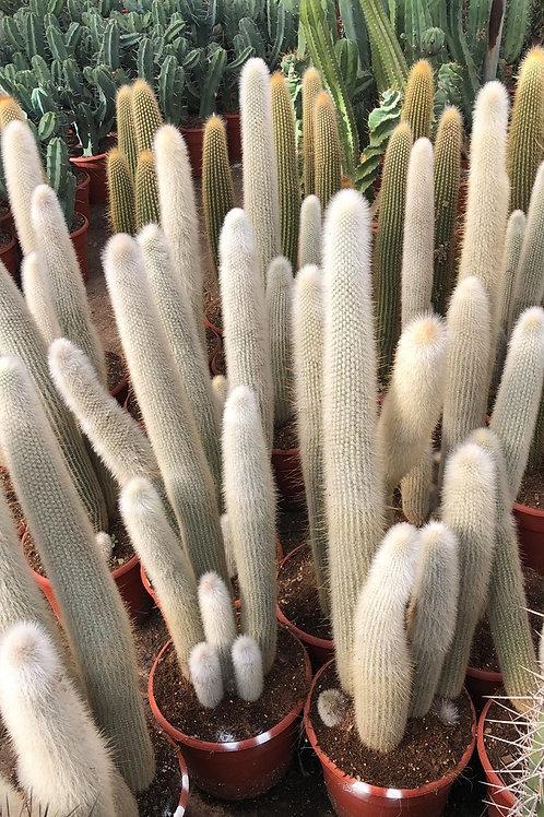 Large Cleistocactus Strausii Cactus. Silver Torch Cactus