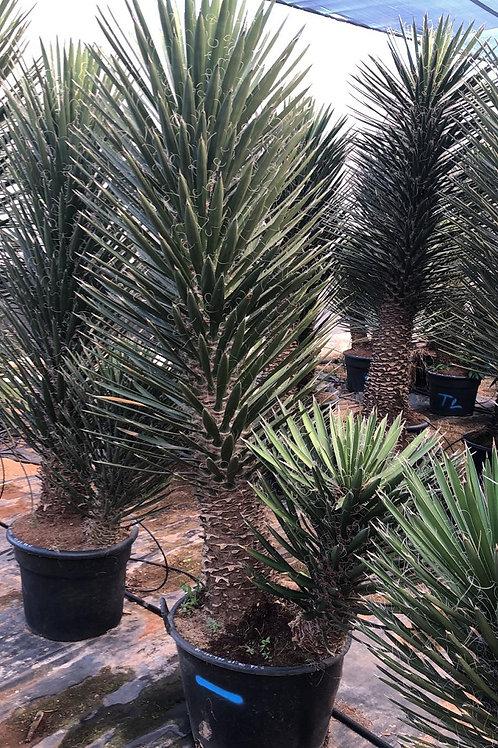 Yucca Filifera 'Australis' Multi trunk.