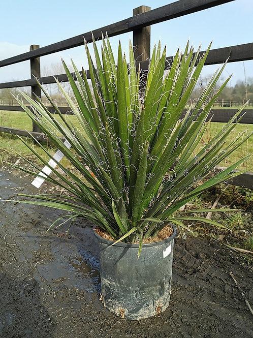 Yucca Potosina For Sale.
