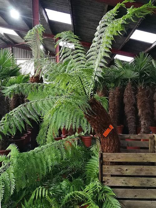 Dicksonia Antarctica Tree Ferns