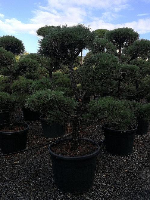Pinus Sylvestris Cloud Topiary Tree. Scots Pine Cloud Bonsai Trees