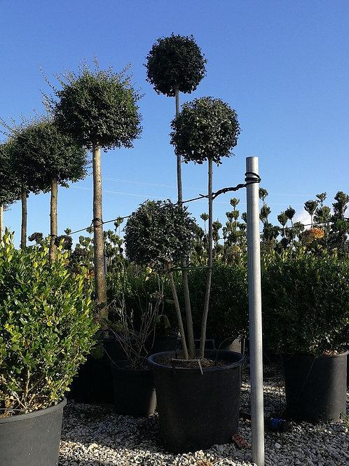 Ligustrum Jonandrum 3 Ball Pom Pom Topiary Trees.