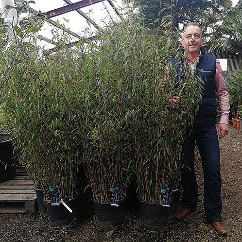 Fargesia 'Winter Joy' Bamboo Plants For Sale