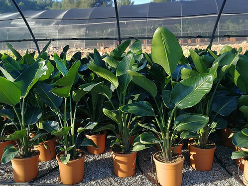 Giant Bird of Paradise Plants For Sale