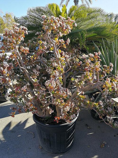 Crassula Portulacea Plant. Jade Plant 5ft tall