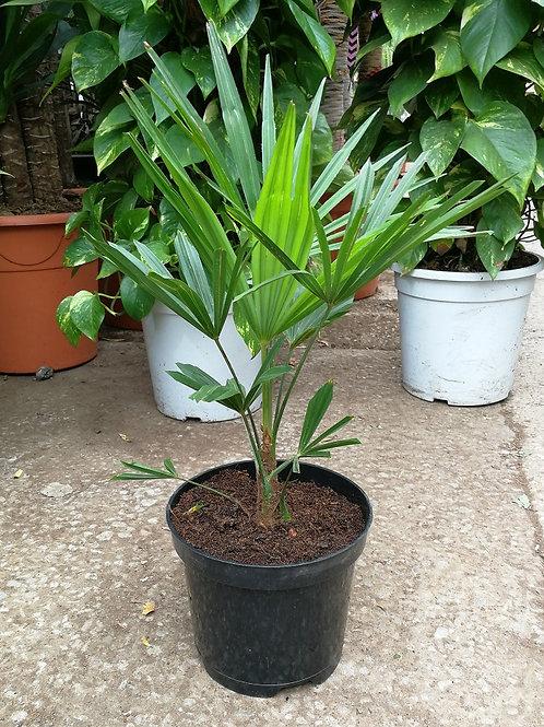 Trachycarpus Fortunei x Tracycarpus Wagnerianus Hybrid Palm