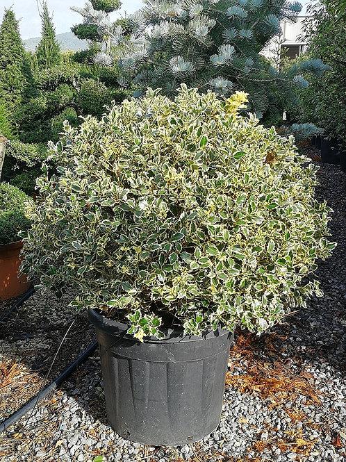 Ilex Aquifolium Variegatum. Variegated Holly Balls.