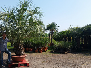 Amazing Palm Trees from The Palm Tree Company