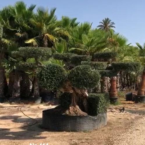 SPECIMEN GNARLED POM POM OLIVE TREES. Unique Formation.