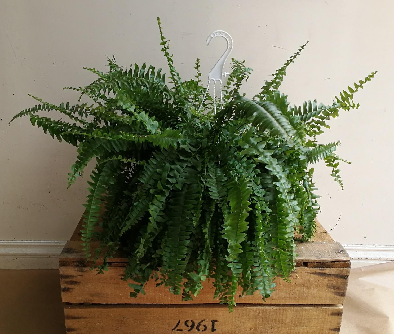 Fern Plants.