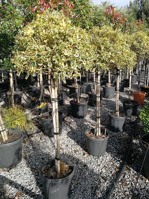 Ilex Aquifolium Variegatum. Variegated Holly Balls For Sale