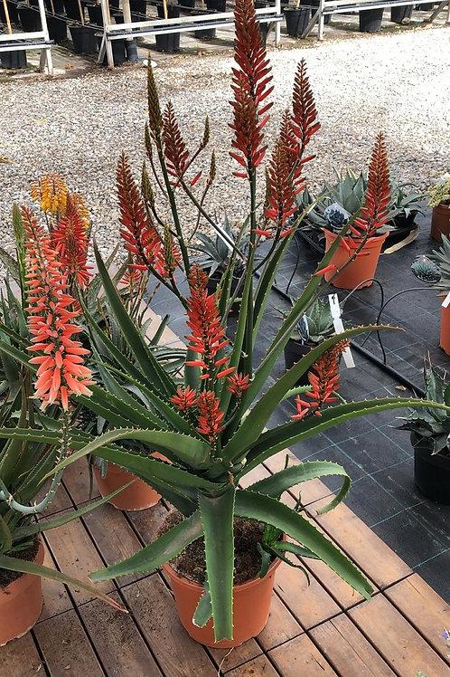 Aloe x Spinosissima. Spider Aloe