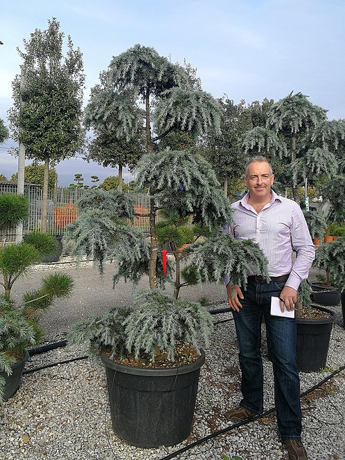 Cedrus Deodara 'Feelin' Blue' Pom Pom Trees