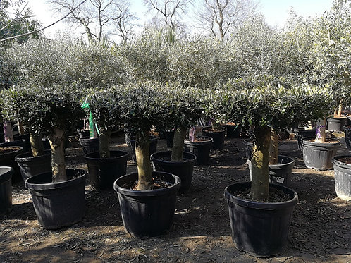 Olive Trees For Sale. Plateau Form.
