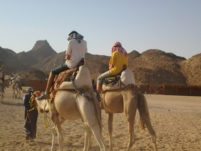 Bedouin Village Camels