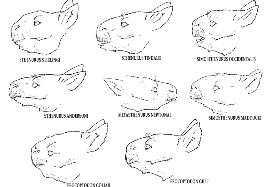 Tim Morris- Sthenurine Head Reconstructions