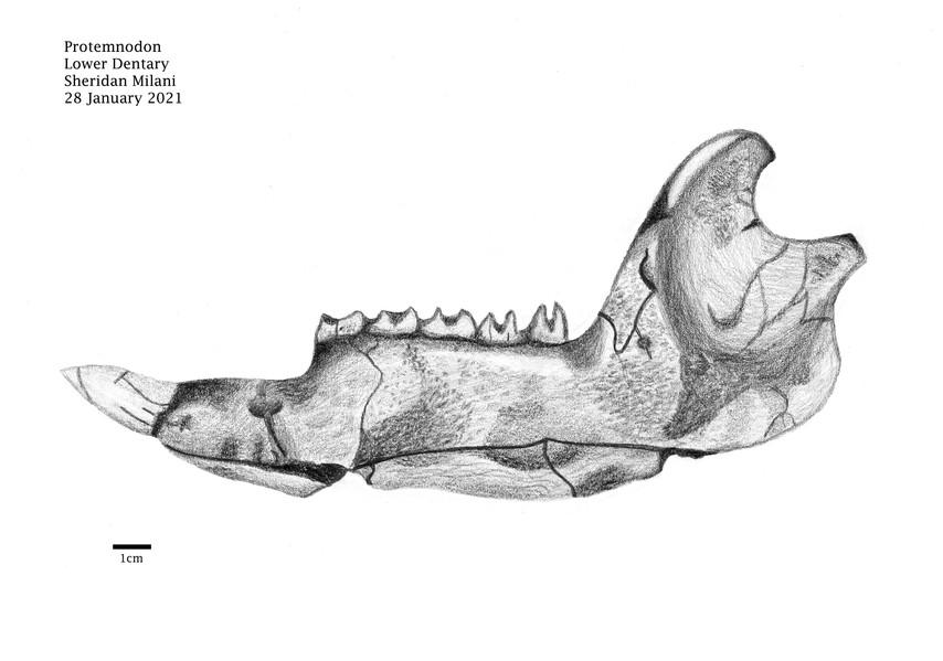 Sheridan Milani- Protemnodon Lower Dentary