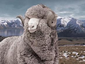 Merino wool: the unicorn of textiles