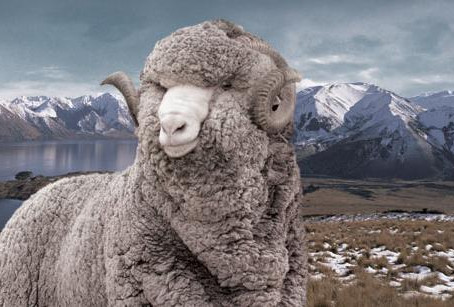 Merino wool: the unicorn of textiles