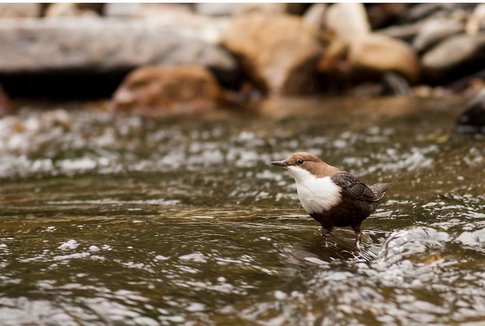 Dipper, bird, Watersmeet, Devon, Exmoor, Nature, River