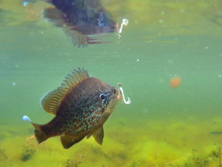 Bluegill Fun