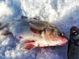 Hunt for White Perch