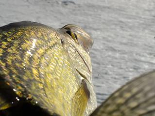 Alexandria Area Report: Late Ice River Fishing
