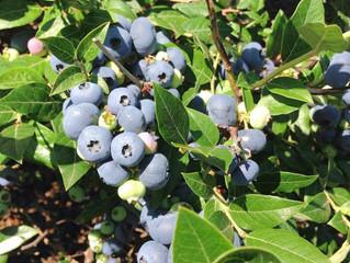 Buttermilk Blueberry Bars