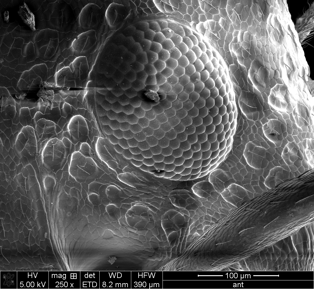 Ant Compound Eye