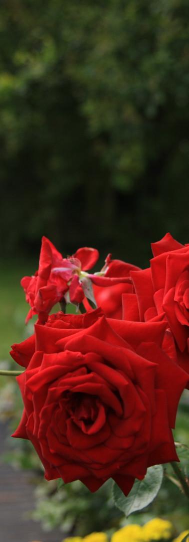 Roses blooming
