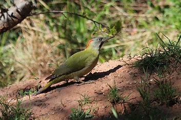Levaillant's woodpecker.jpg