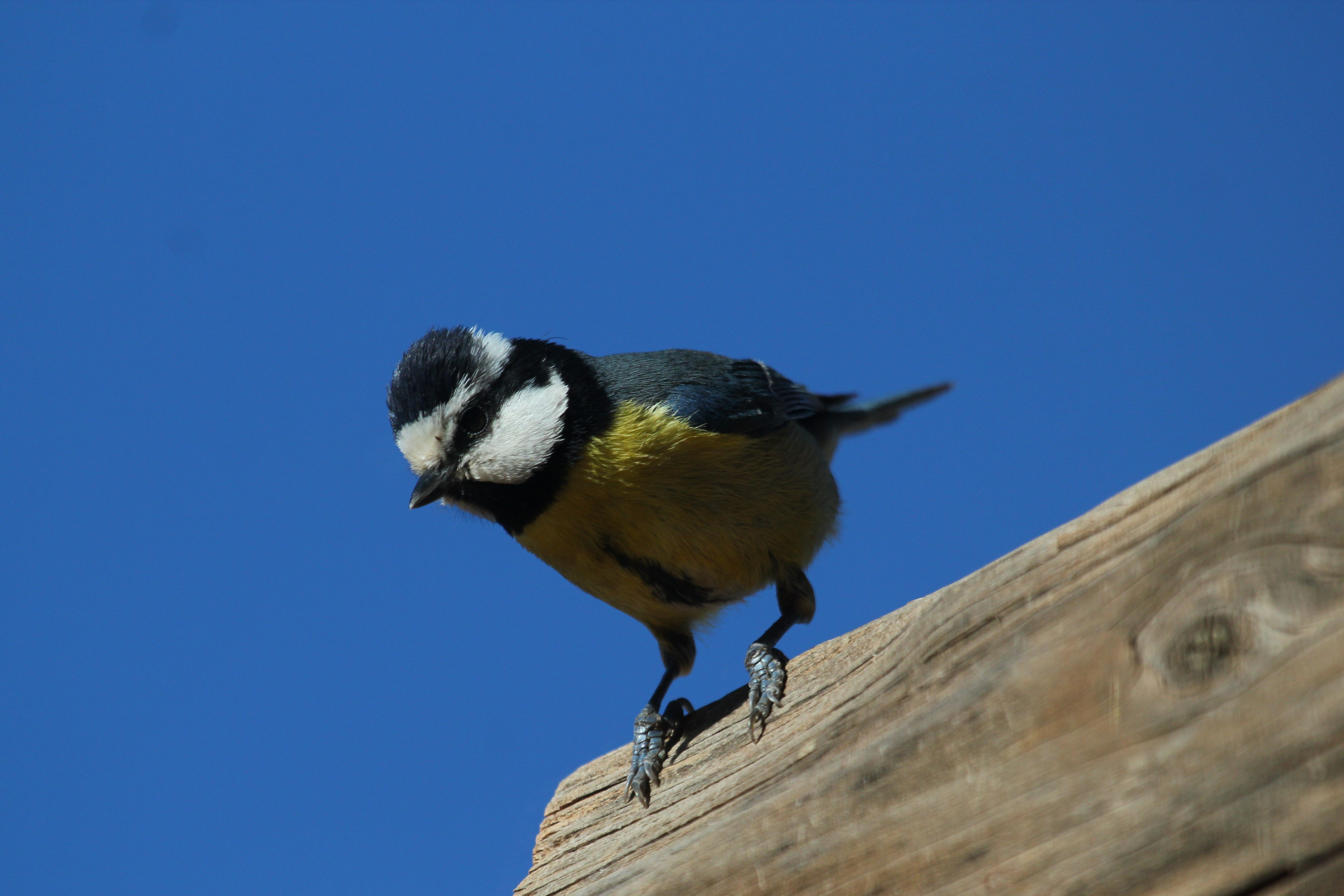 African blue tit1