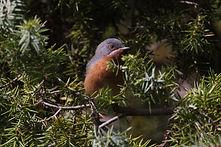 Subalpine warbler1.jpg