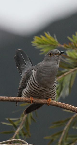 Common cuckoo.jpg