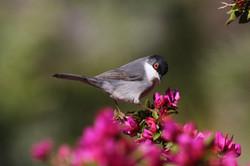 Sardinian warbler1
