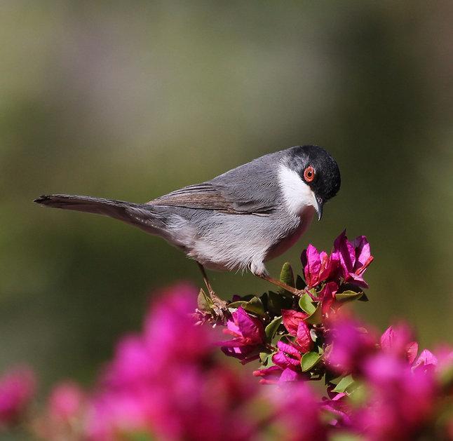 Sardinian warbler1.jpg