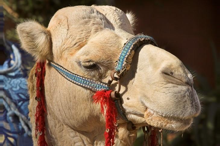 Camel Ride Marrakech (8)