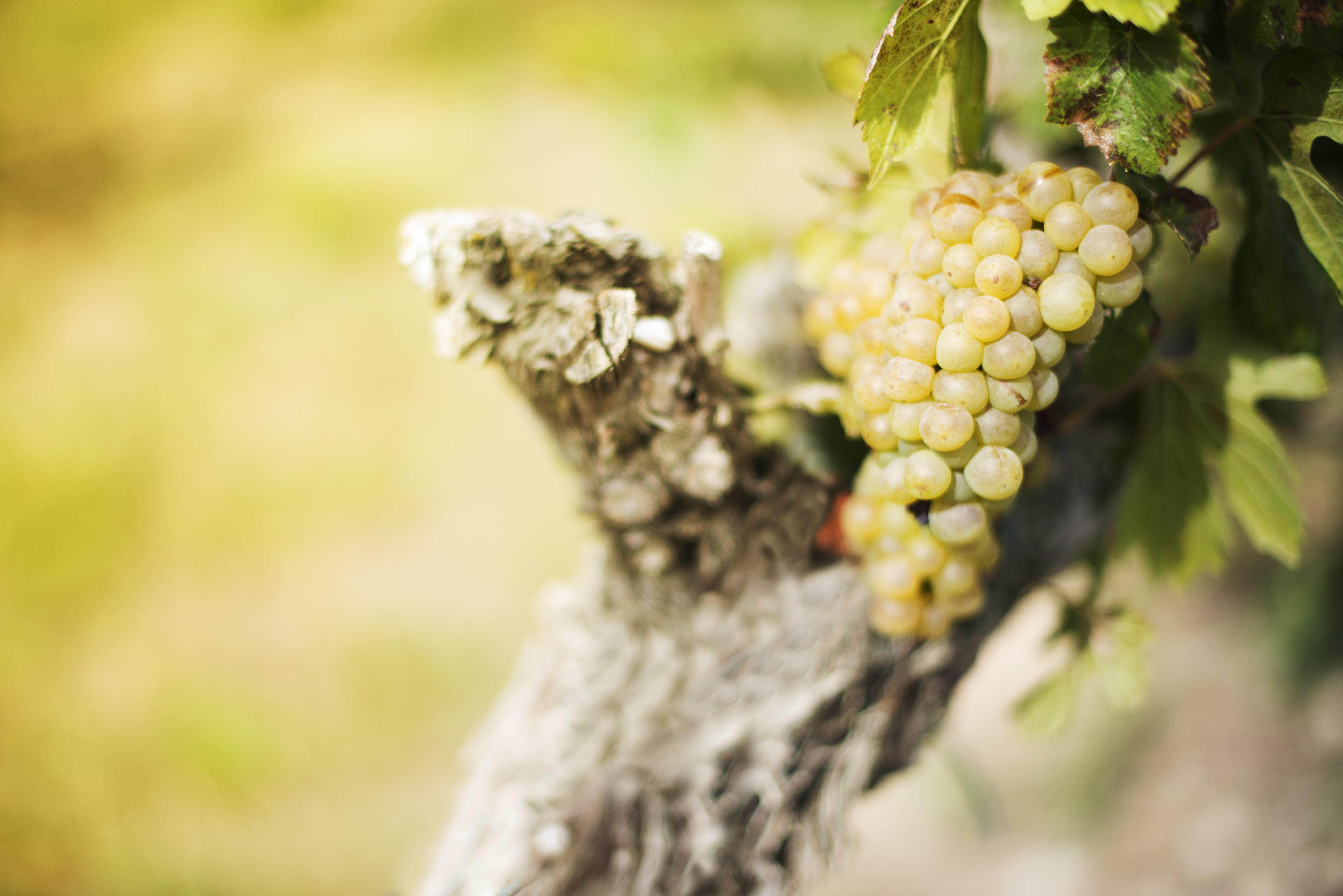 grapes-1048826
