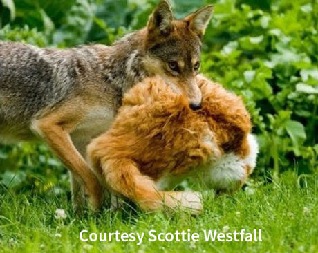 coyote-killing-cat-2.jpg