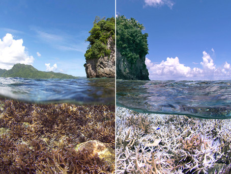 What is Coral Bleaching & Why is Coral Dying?