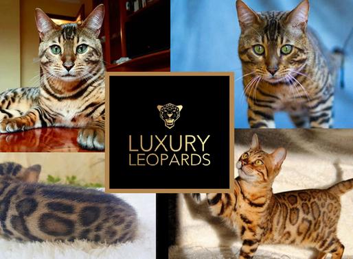 Los criadores de gato bengalí, muchas veces un negocio, realmente una vocación.