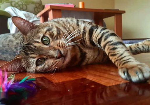 ¿Por qué debería comprar mi gato bengalí en un criadero legal y registrado?