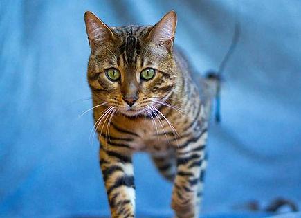 El bengalí es una raza de gato híbrido,